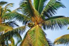 Kokosnoten en Palm Royalty-vrije Stock Afbeeldingen