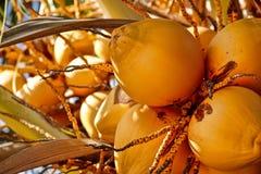Kokosnoten op boom Stock Afbeelding