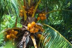 Kokosnoten op de palm royalty-vrije stock fotografie