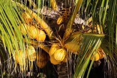 Kokosnoten op de palm Royalty-vrije Stock Afbeelding