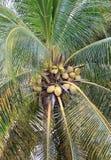 Kokosnoten op een Palm Stock Foto's