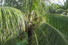Kokosnoten op een tropische palm Stock Foto's