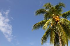 Kokosnoten op Palm Royalty-vrije Stock Afbeelding