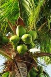 Kokosnoten op palm Stock Foto