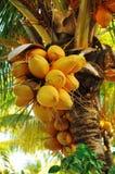 Kokosnoten op palm Stock Foto's