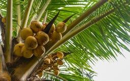 Kokosnoten op palm Royalty-vrije Stock Foto
