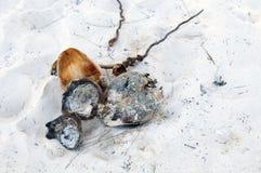 Kokosnoten op zand Royalty-vrije Stock Foto