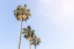 Kokosnoten plam bomen met blauwe hemel Royalty-vrije Stock Foto's