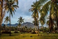 Kokosnotenaanplanting royalty-vrije stock afbeelding