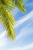 Kokosnotenbladeren Royalty-vrije Stock Afbeeldingen