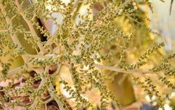 Kokosnotenbloemen Stock Afbeeldingen