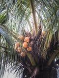 Kokosnotenboom bij Ometepe-Eiland Royalty-vrije Stock Afbeeldingen