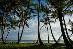 Kokosnotenbos op een strand Stock Afbeeldingen