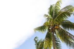 Kokosnotenbosje met rijpe kokosnoten Stock Foto's