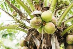 Kokosnotenfruit op kokospalm Royalty-vrije Stock Afbeeldingen