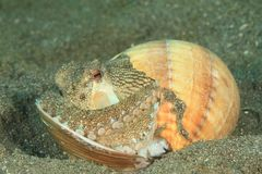 Kokosnotenoctopus - amphioctopusmarginatus Stock Fotografie