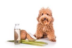 Kokosnotenolie en de vlooienafweermiddel van vetten natuurlijk tikken voor huisdieren stock afbeelding