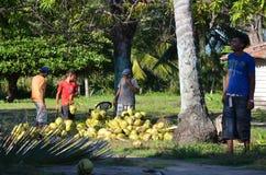 Kokosnotenoogst in Playa Gr Espino, El Salvador stock afbeeldingen