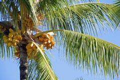 Kokosnotenpalm royalty-vrije stock foto's