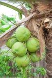 Kokosnotenpalm Royalty-vrije Stock Afbeeldingen