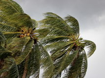 Kokosnotenpalm die in de winden vóór een een machtsonweer of orkaan blazen royalty-vrije stock foto's