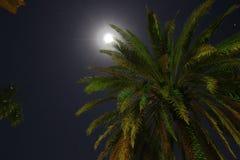 Kokosnotenpalm door Maanlicht Stock Afbeelding
