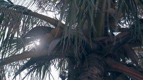Kokosnotenpalm met vruchten bij mening van de zonneschijn de lage hoek stock footage