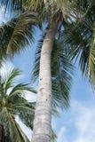 Kokosnotenpalm over de zomerhemel royalty-vrije stock foto