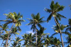 Kokosnotenpalmen stock afbeeldingen