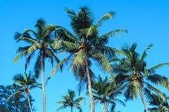 Kokosnotenpalmen royalty-vrije stock foto