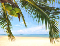 Kokosnotenpalmen met kokosnotenfruit op tropische strandachtergrond Stock Afbeelding