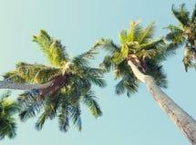 Kokosnotenpalmen op hemelachtergrond Lage hoekmening Gestemd beeld Stock Fotografie