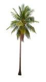 Kokosnotenpalmen op witte achtergrond worden geïsoleerd die stock foto's