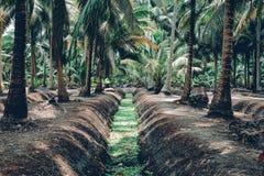 Kokosnotentuin Stock Afbeelding