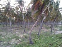 Kokosnotentuin Royalty-vrije Stock Foto's