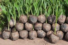 Kokosnotenzaailingen Royalty-vrije Stock Afbeeldingen