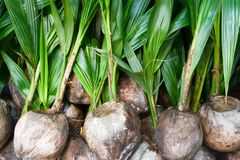 Kokosnotenzaailingen stock afbeelding