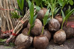 Kokosnotenzaailingen klaar voor het planten royalty-vrije stock afbeeldingen