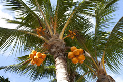 Kokosnüsse auf einer Palme Lizenzfreies Stockfoto