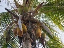 Kokosnüsse, die von einer Palme hängen Lizenzfreie Stockfotografie