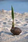 Kokosnöt med grodden på sanden Royaltyfria Bilder