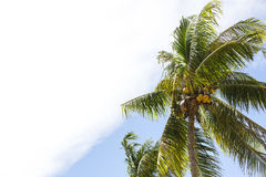Kokosnötdunge med mogna kokosnötter Arkivfoton