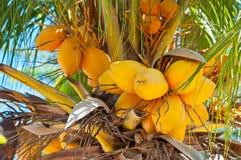 Kokosnöten gömma i handflatan på Aruba Arkivbilder