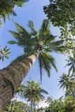 Kokosnötpalmträd över den tropiska vita sandstranden Royaltyfri Foto