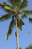 Kokosnötpluckerklättringar på kokosnöten gömma i handflatan Royaltyfri Fotografi