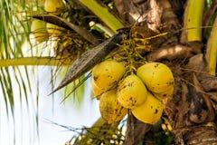 Kokosnötter på en kokosnöt gömma i handflatan Arkivbild