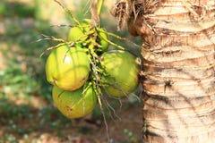 Kokosnötter som hänger på en gömma i handflatan Arkivbild
