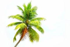 kokosnöttree Arkivbilder