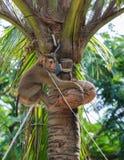Kokosnuss-Affe Stockfoto