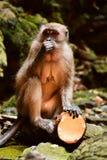 Kokosnuss-Affe Stockfotografie